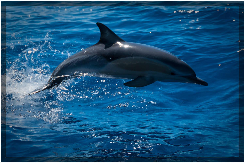 """Jumping Dolphin"" New Zealand"