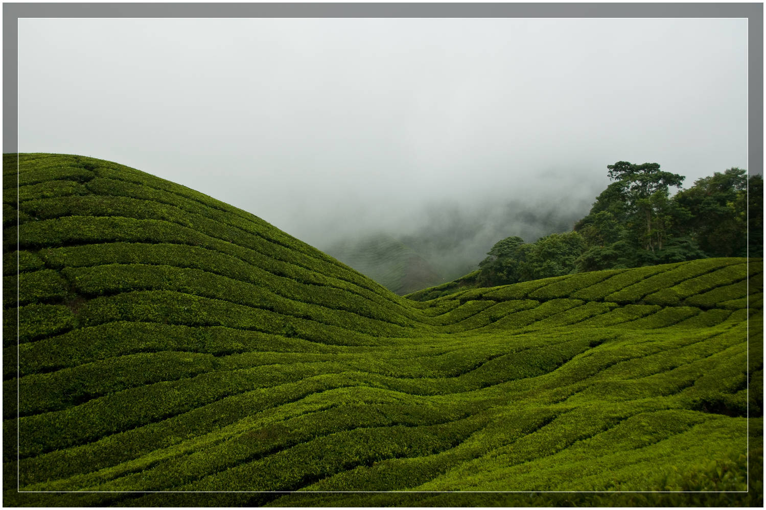 BOH tea plantation on the hills of the  Cameron Highlands ,  Malaysia