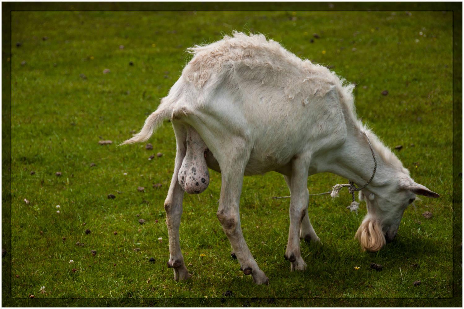 Virile Goat @  Gaalburn Cheese Cheesery & Dairy Goat Farm  near Greymouth,  New Zealand .