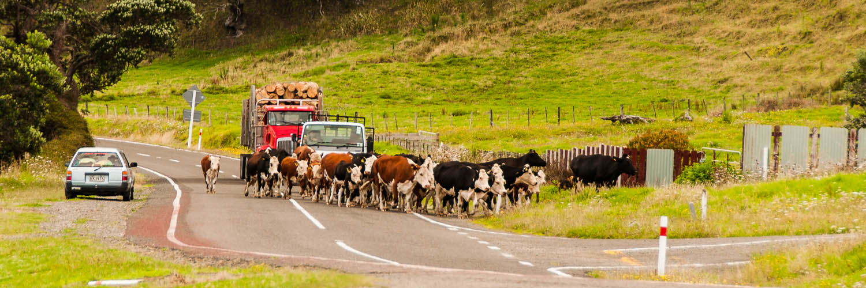 A kiwi traffic jam. East coast, New Zealand
