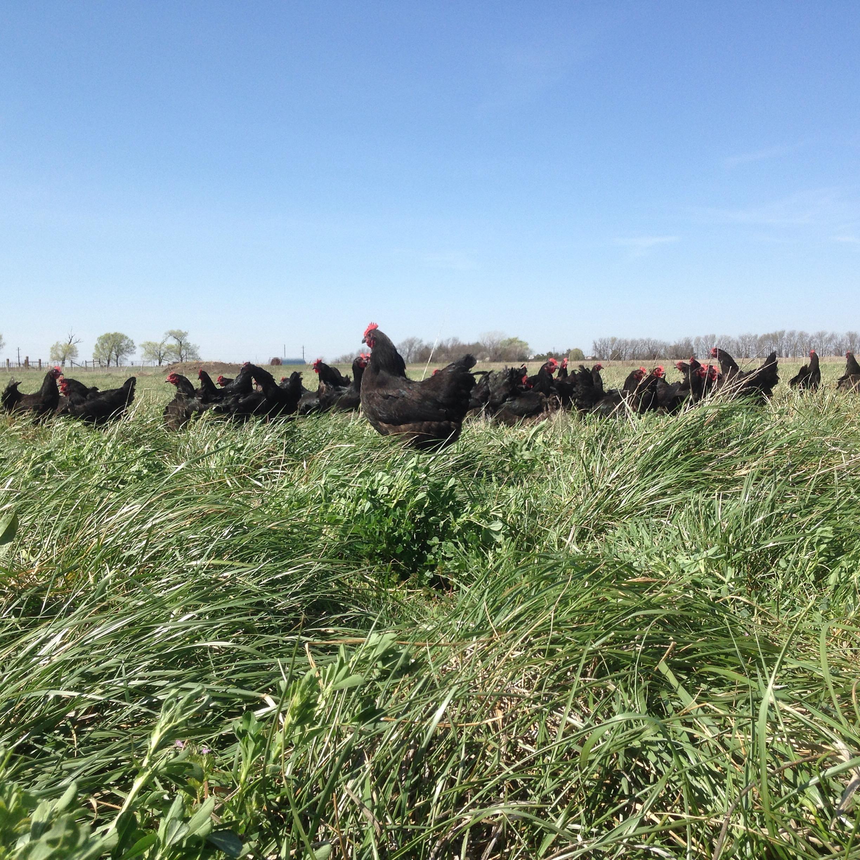 Black Australorp hens.