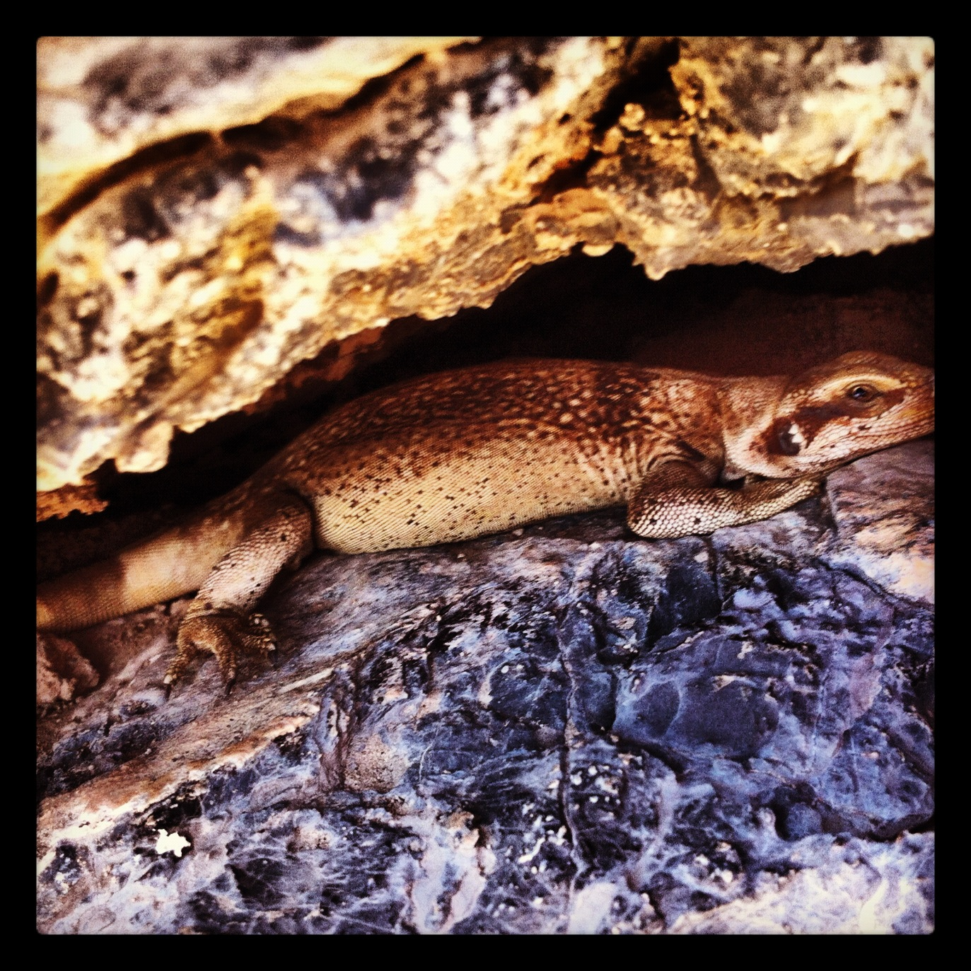 Real chuckwalla, or fake chuckwalla?
