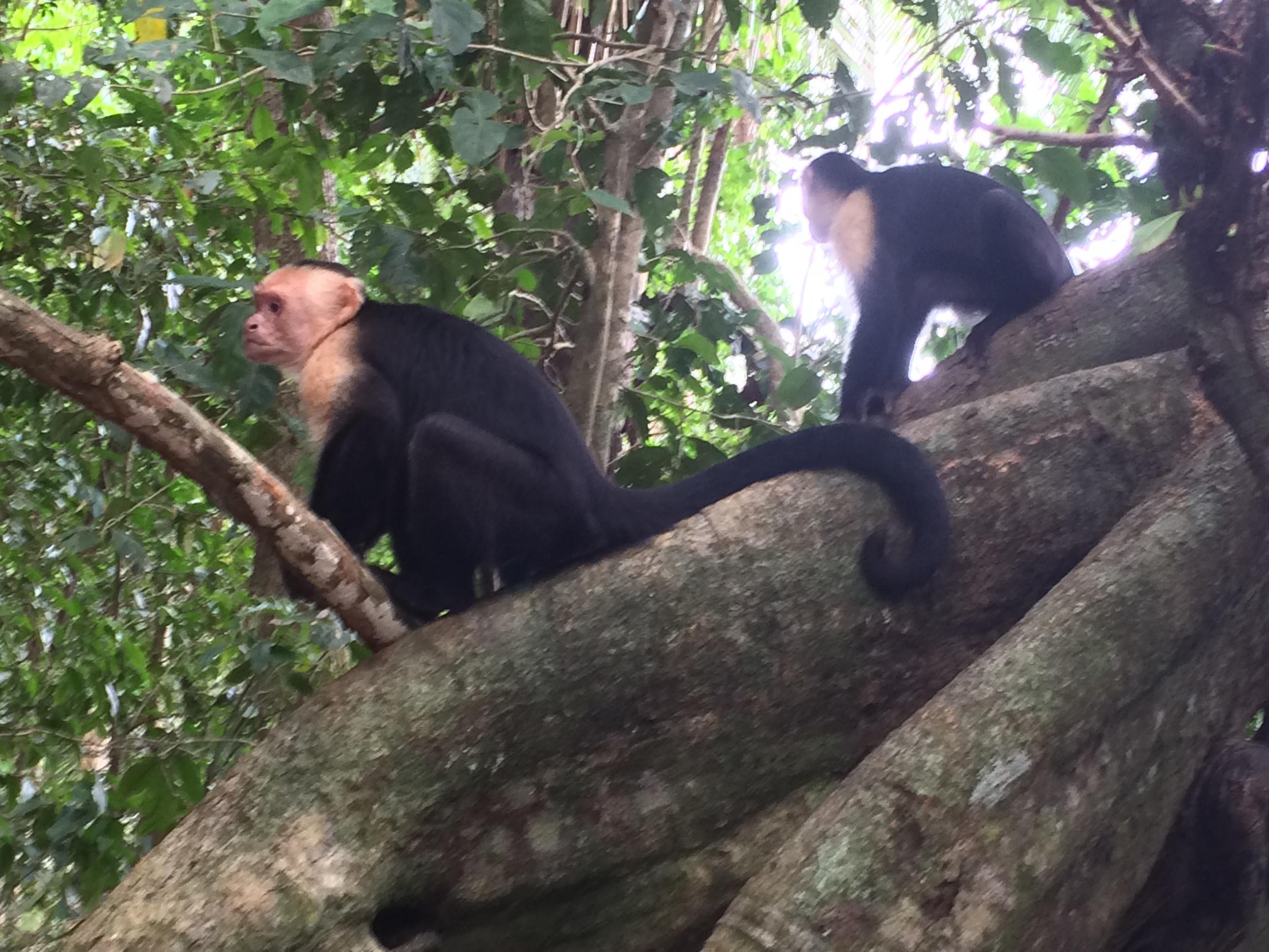 Capuchin Monkeys, Manuel Antonio National Park