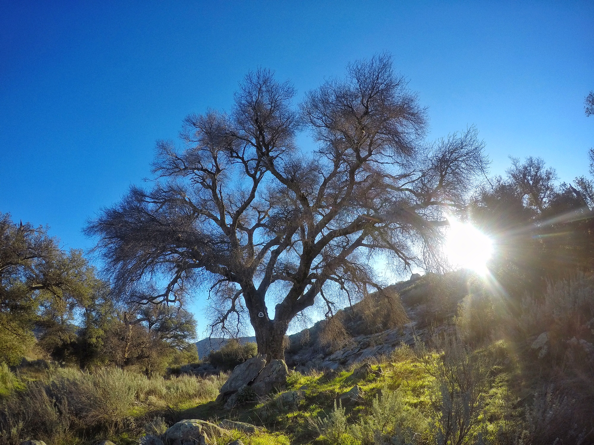 This distinctive oak marks the start of the hike to Kitchen Creek Falls, and is along the southern end of the PCT
