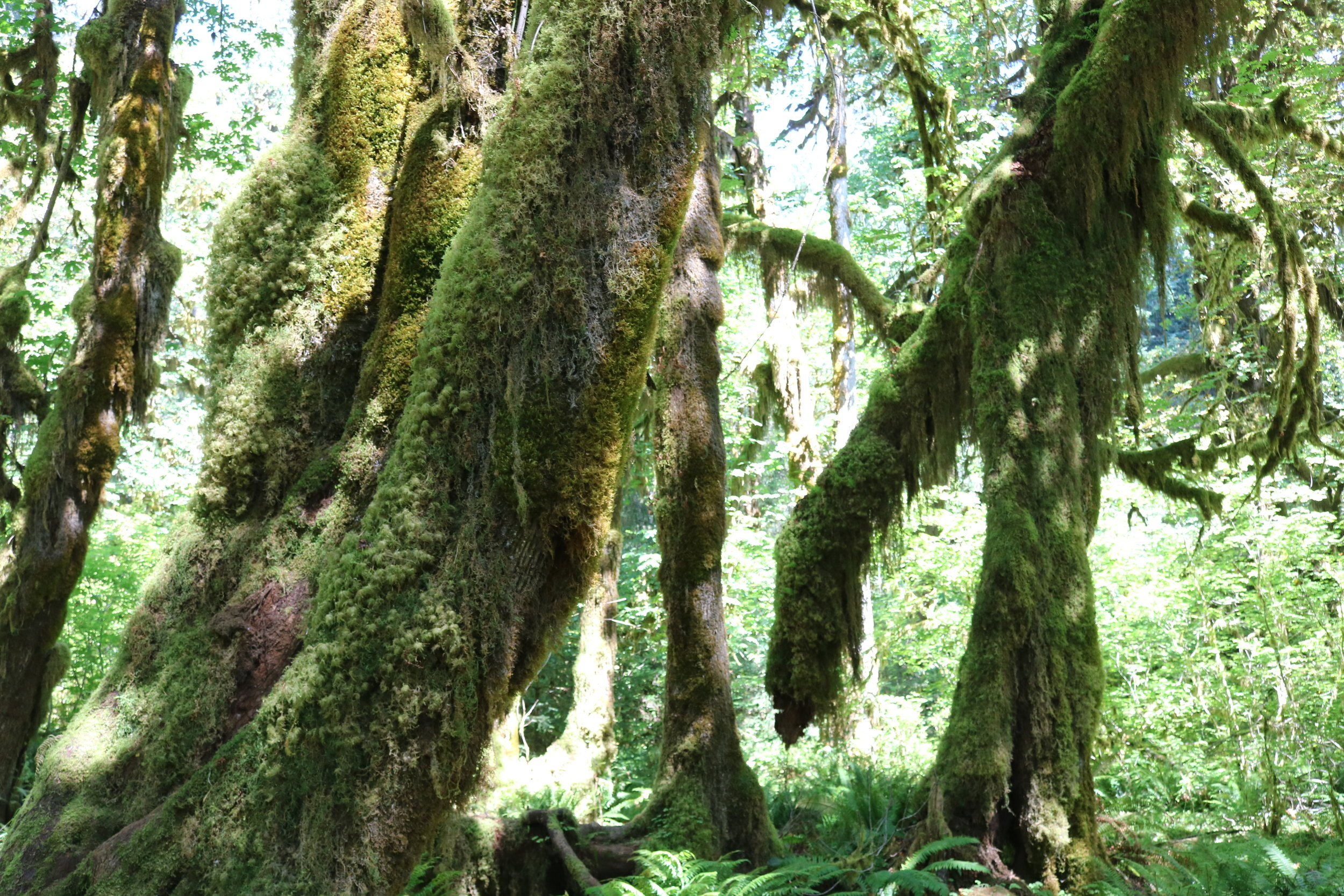 Olympic National Park is home to one of the largest collections of different mosses.