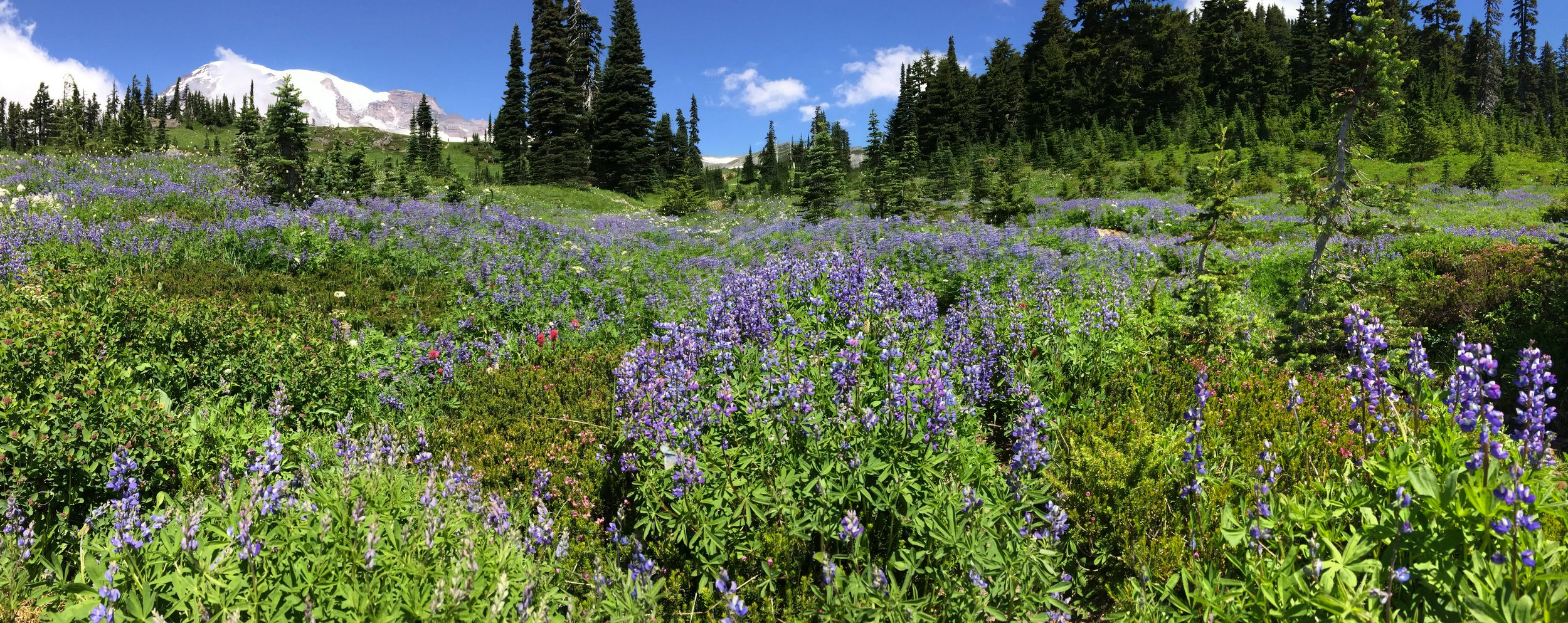 During the summer months, the meadows around Paradise are full of wildflowers.