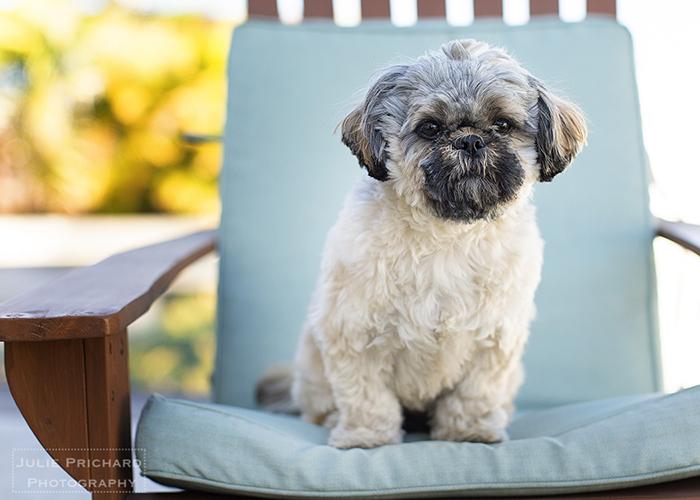 "Chewie, sitting pretty in the San Diego ""faux winter""."