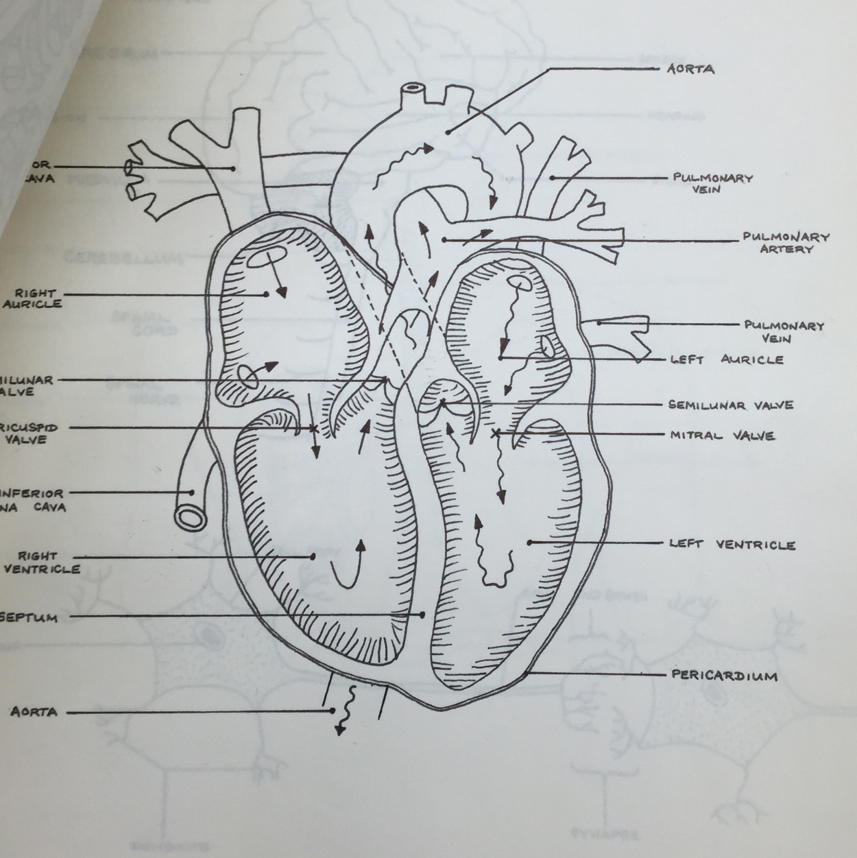 Ms. O'Brien's hand labeled diagram. Her penmanship was so precise... she would frequently fill up entire chalk boards with meticulous science lessons for us to copy and memorize.
