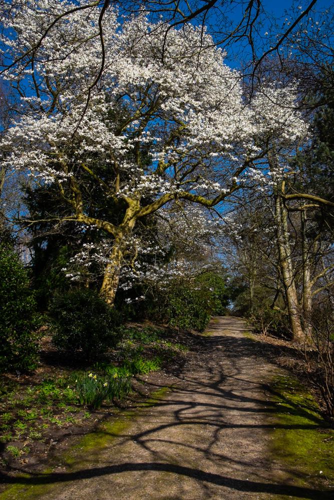 Flowers on a Magnolia - RHS Wisley