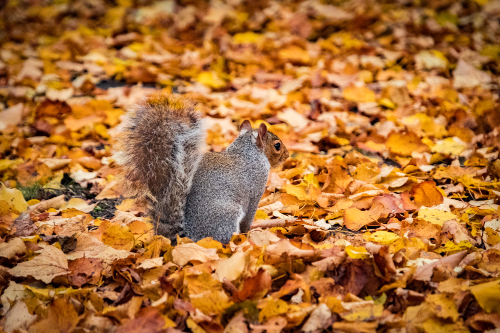 Grey Squirrel in Regent's Park, London - Fuji X-T2