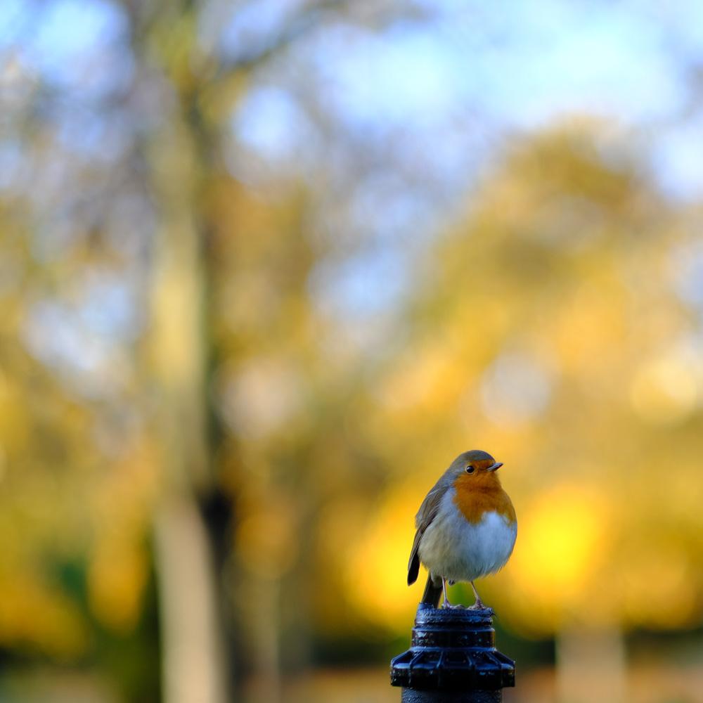 Regents Park Robin -Fuji X-T2 56mm @ f1.2