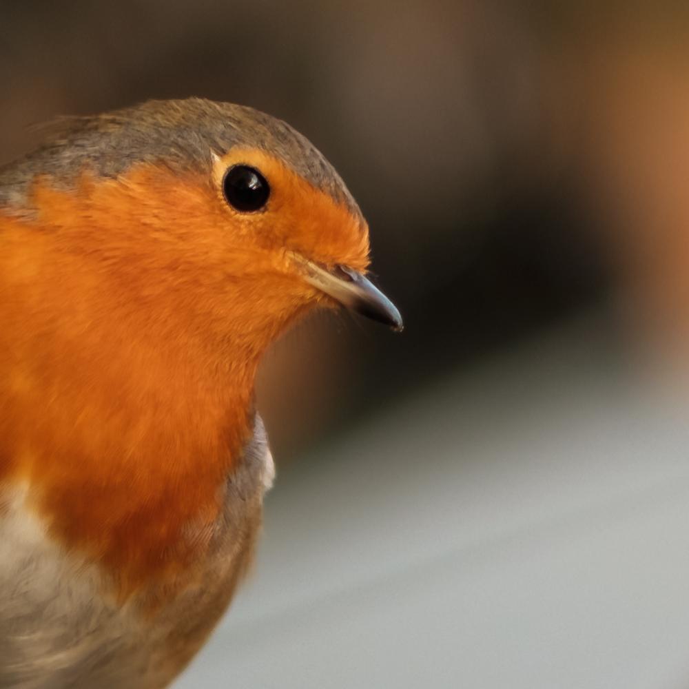 100% crop of 'Robin in Regents Park'
