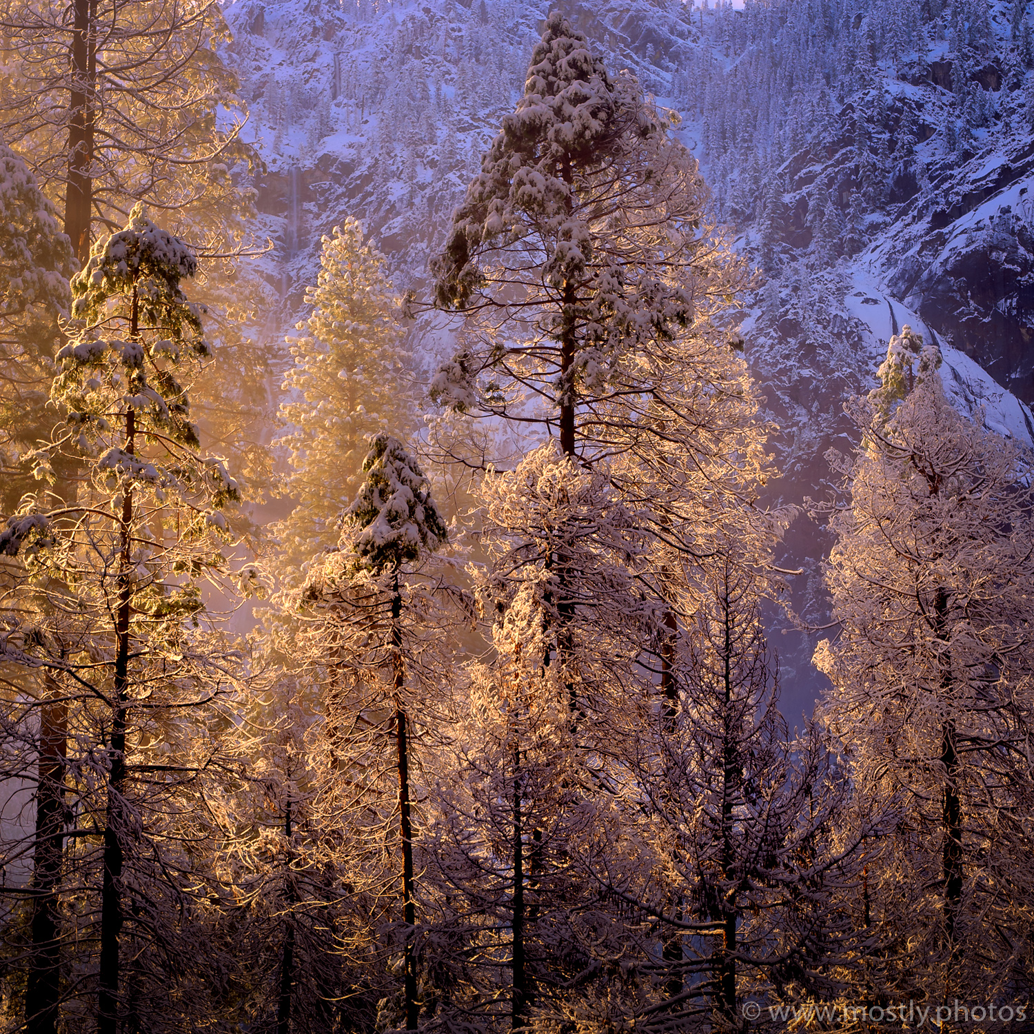 Sunlit Trees - Yosemite National Park, California