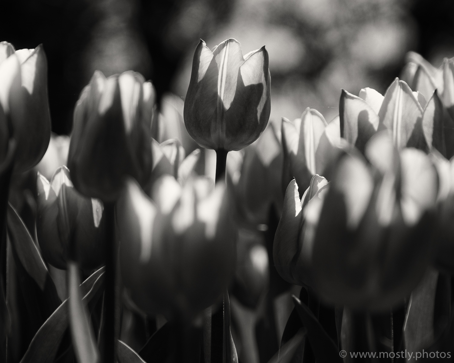 Fuji X-T2 and 18-135mm Backlit Tulips