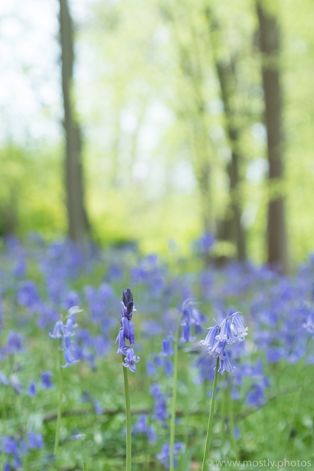 Fuji X-T2 Bluebell Woods - Polesden Lacey