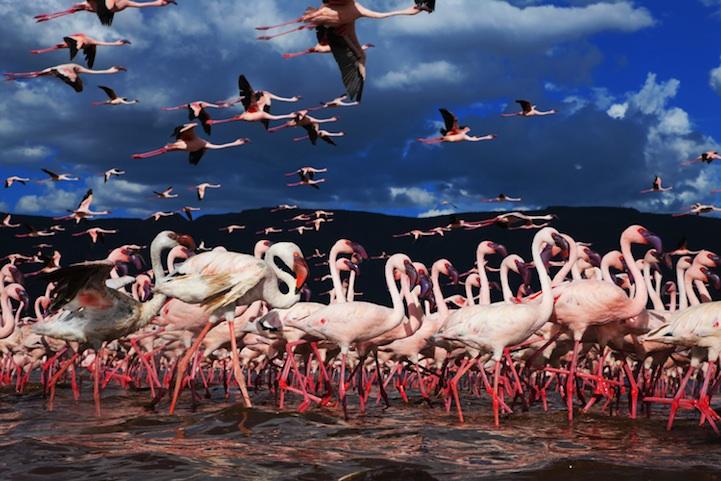 flamingomigration01.jpg