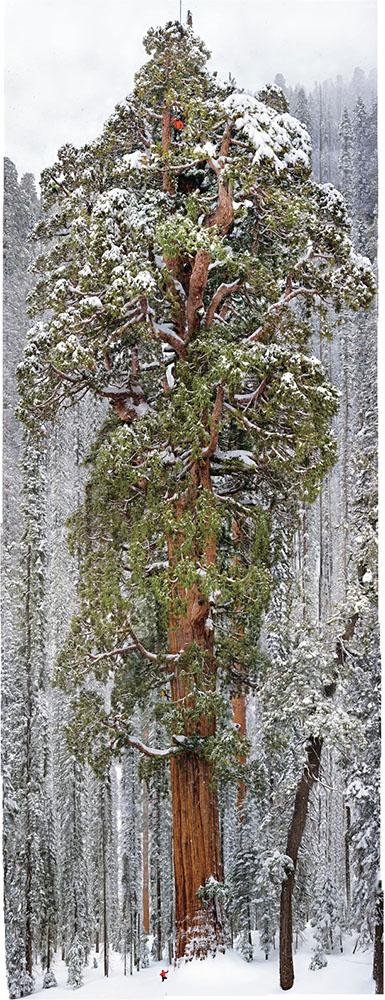 largesttree.jpg