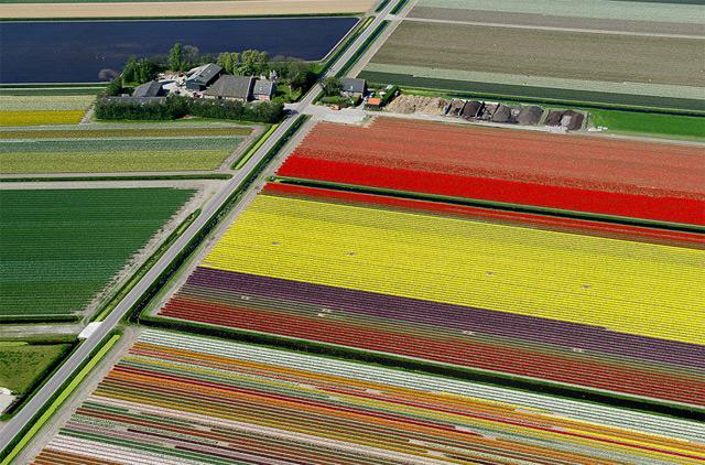 tulips-4.jpg