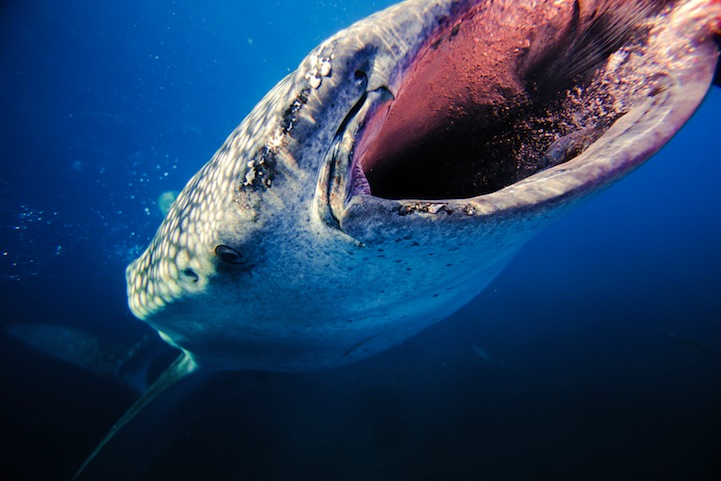 Curious Whaleshark   Whaleshark encounter in the Bohol Sea, Philippines.  Photo and caption by Jonne Seijdel/National Geographic Traveler Photo Contest