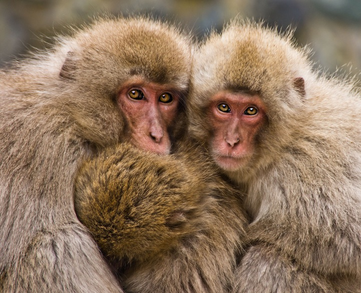 Togetherness   A family of snow monkeys cuddling up together for security and warmth. They appeared very protective of one another and seemed unsure of my presence.  Photo and caption by Petra Bensted/National Geographic Traveler Photo Contest