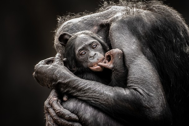 One Mothers Love   Photo and caption by Graham McGeorge   I love watching the affection and attention that Bonobos have for their young. They truly are a wonderful species of ape.