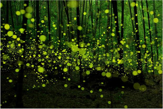 yumefireflies-3.jpg