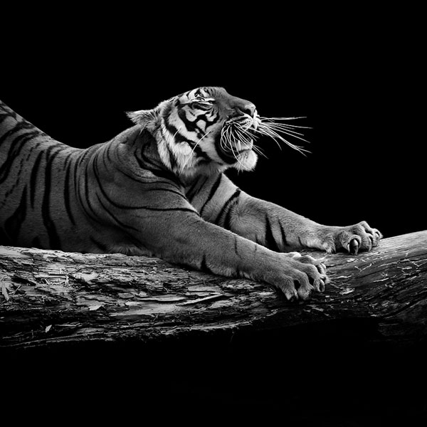 black-and-white-fine-art-animal-portraits-by-lukas-holas-9.jpg