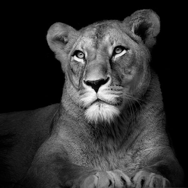 black-and-white-fine-art-animal-portraits-by-lukas-holas-8.jpg