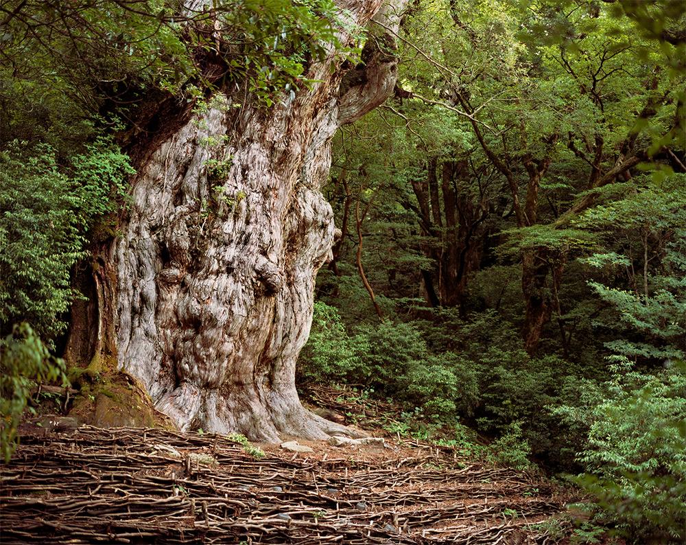 Jōmon Sugi, Japanese Cedar #0704-002 (2,180-7,000 years old; Yakushima, Japan)