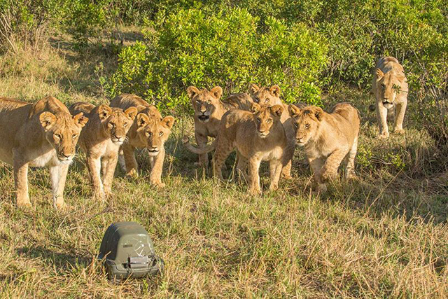 Cubs-and-Lion-Cam.jpg