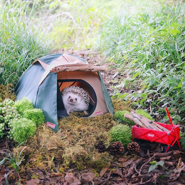 hedgehog-azuki-goes-on-camping-trip-5.jpg