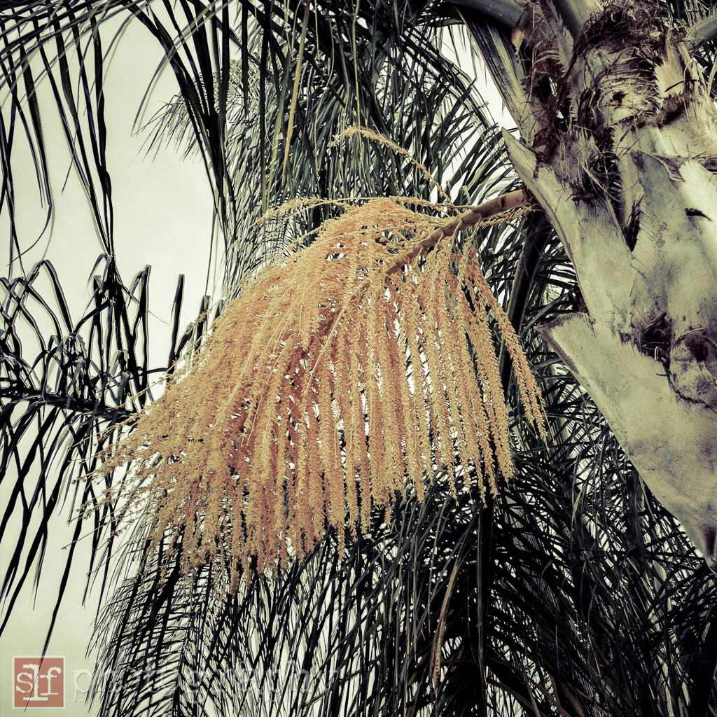 queen palm flowers, 2012