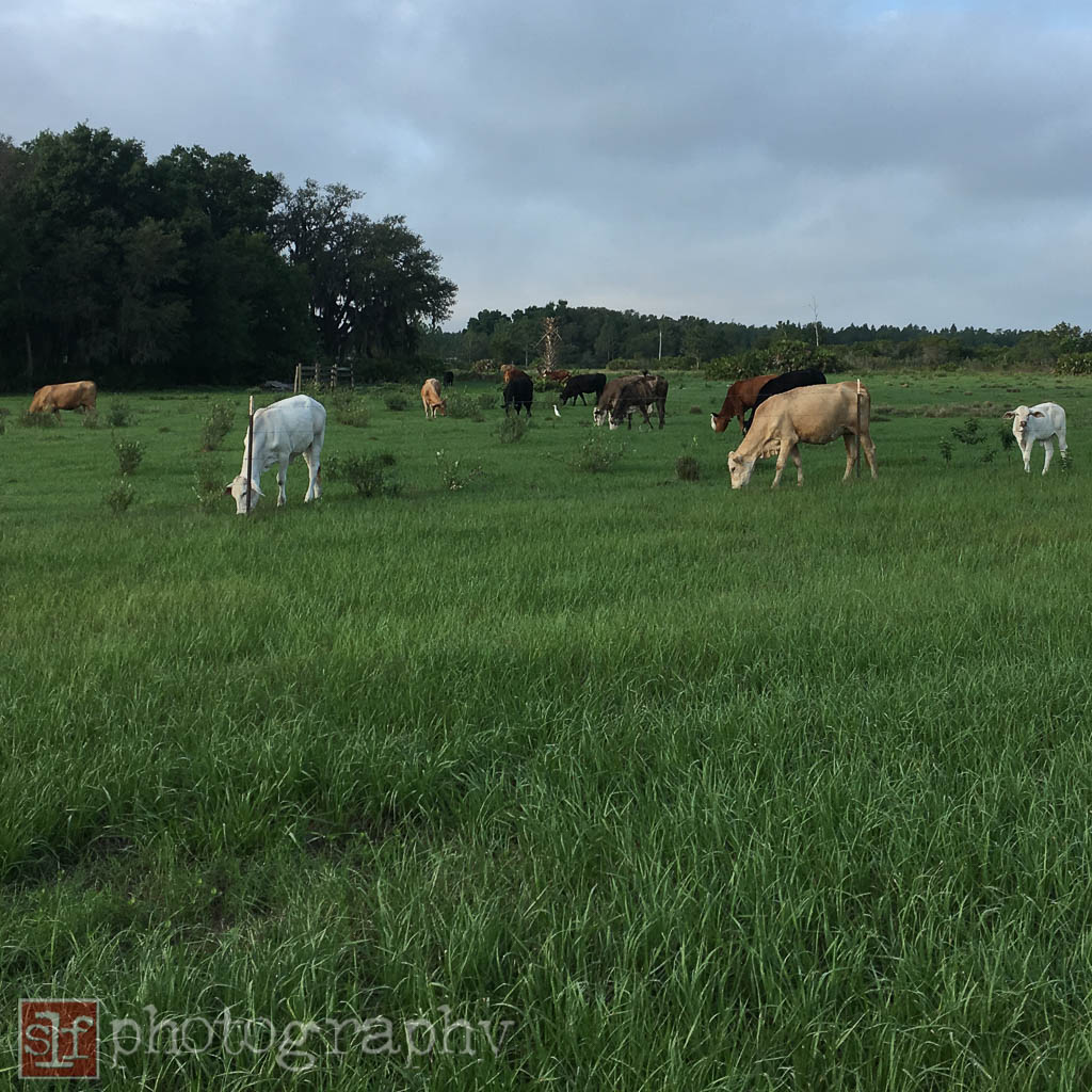 they don't usually leave the cattle in one pasture for so long. these cows have been here at least a week.