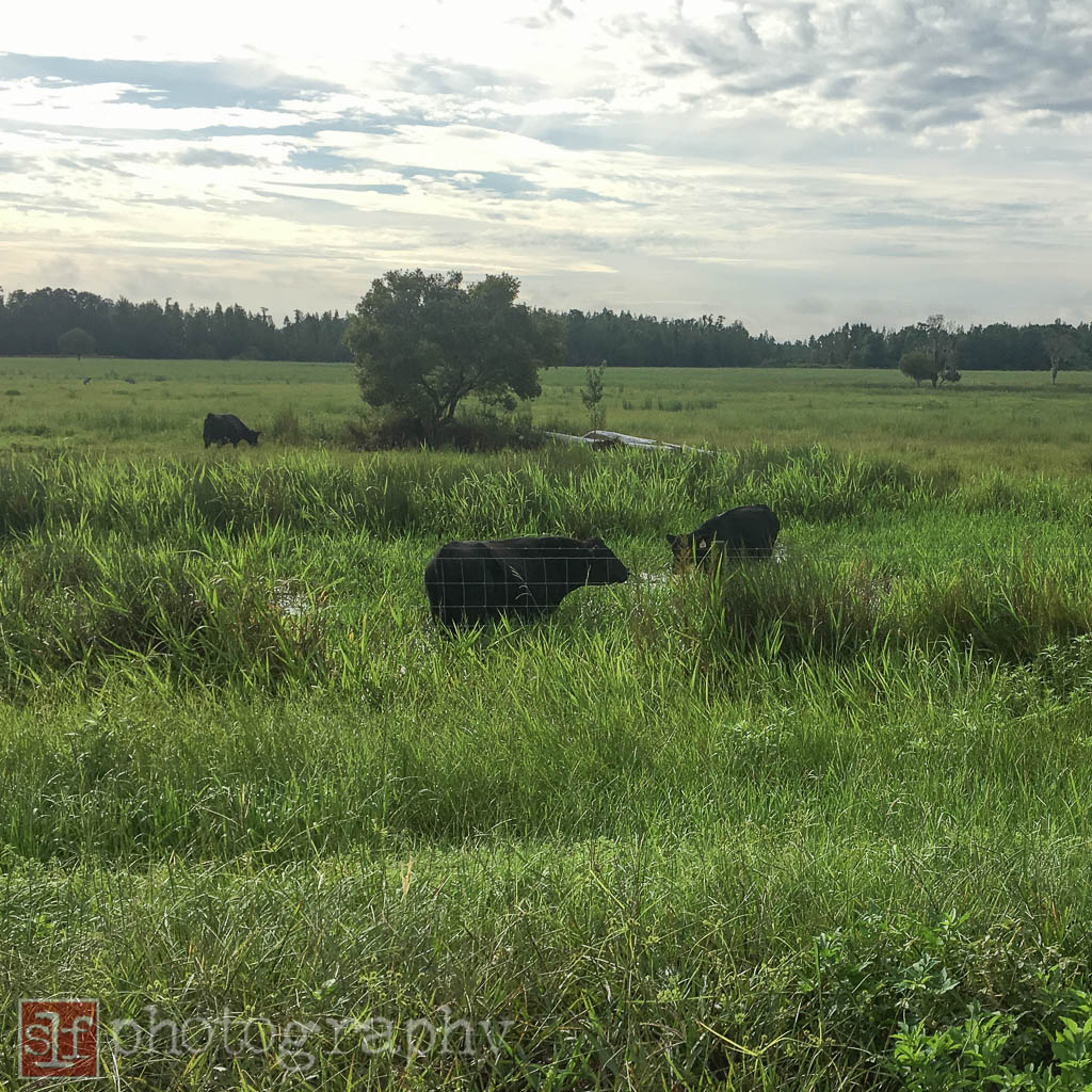 the black angus cows rarely come this close to the mup. they prefer people not to stop and moo at me.