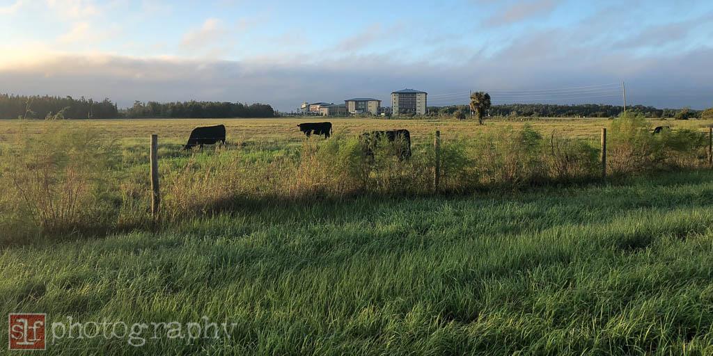 cows along sr56