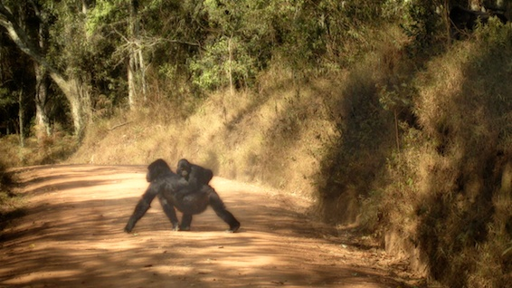 Gorilla crossing