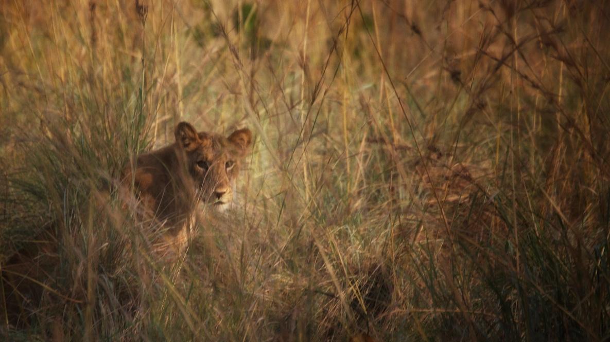 lions in Ishasha