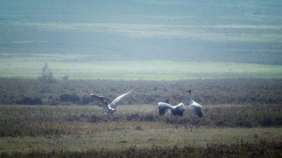 Black neck cranes