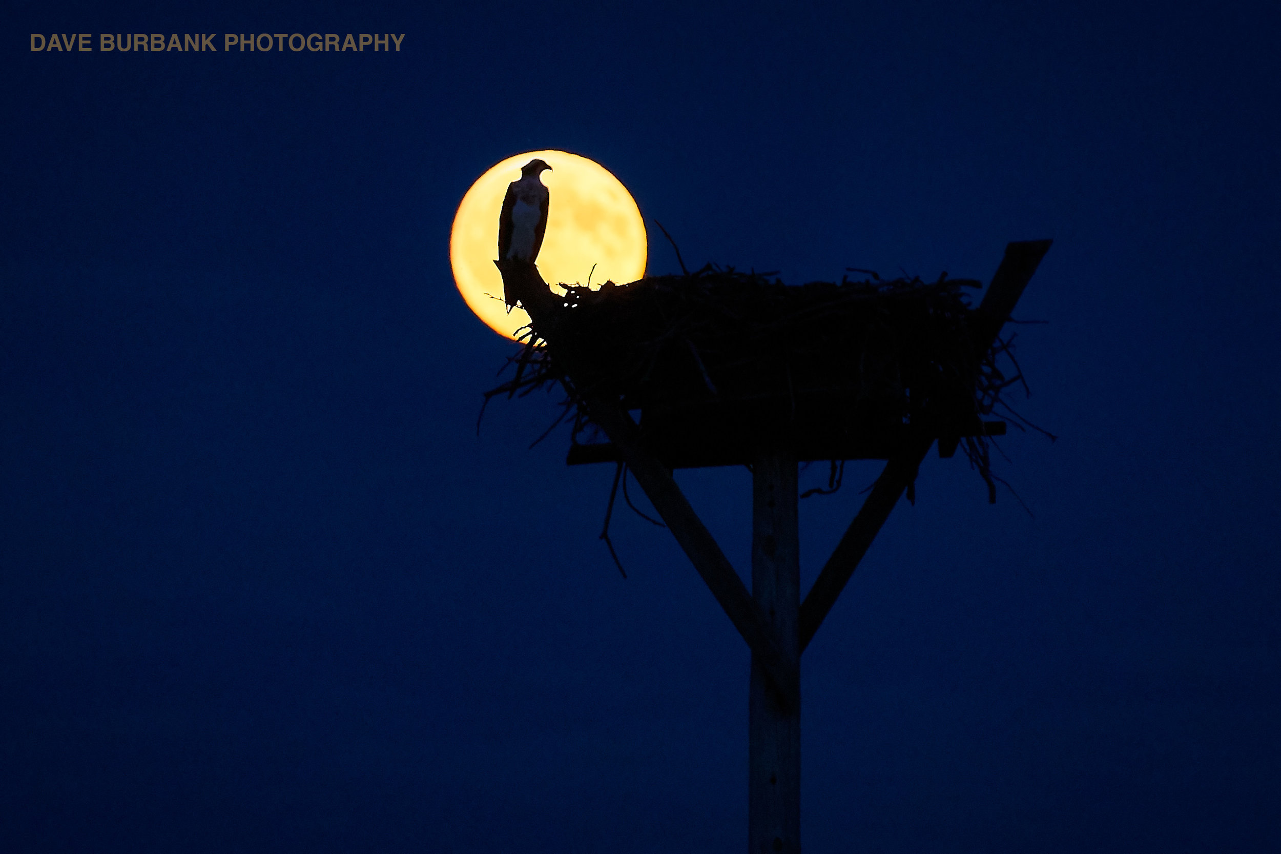 osprey-full-moon.jpg