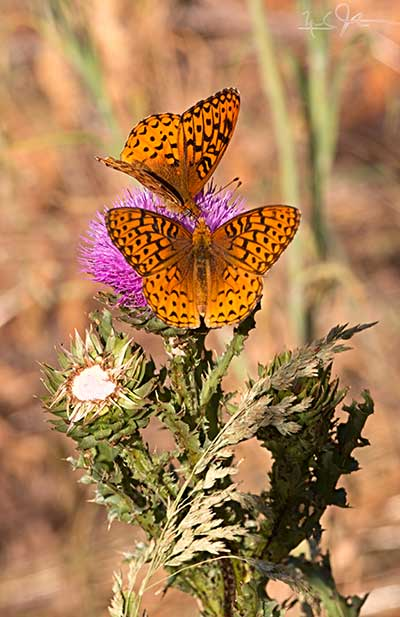 Perhaps  Speyeria atlantis , the Atlantis Fritillary.