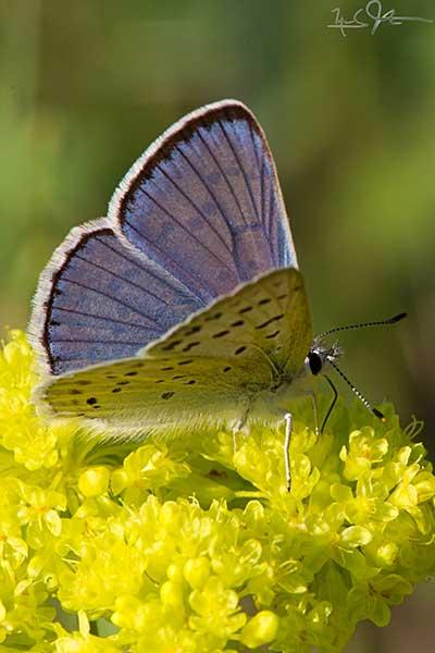 Lupine Blue, Plebejus icarioides