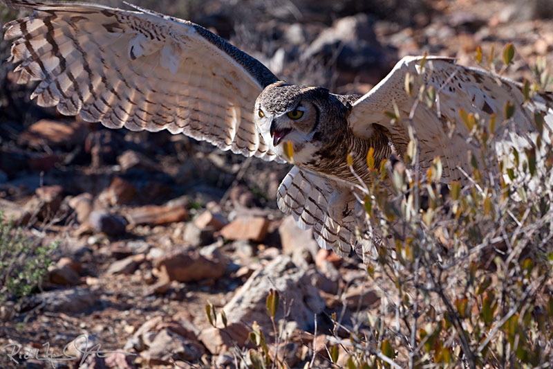 Great Horned Owl, flaring to land.