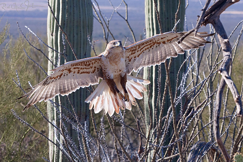 Ferruginous Hawk.