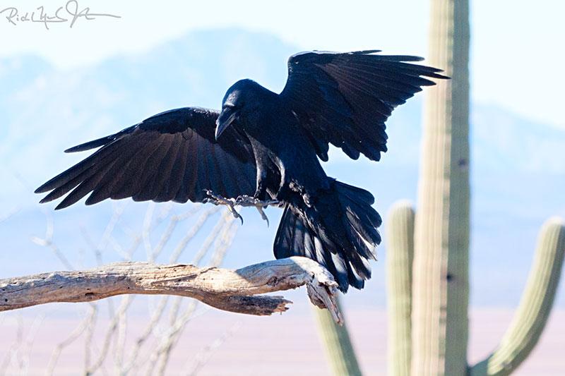 Chiracahuan Raven.