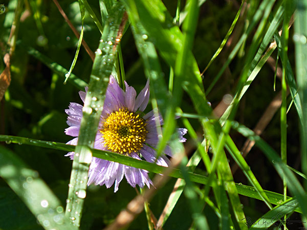 6:35 AM: A Leafy-Bracted Aster, Symphyotrichum foliaceum , hides among the grass.