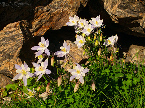 5:50 AM: Columbine in bloom at about 11,700 feet, on the descent from Chasm Lake.