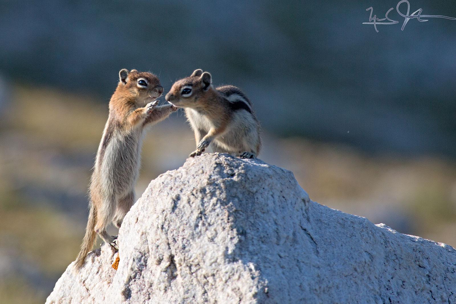Chipmunks at play.
