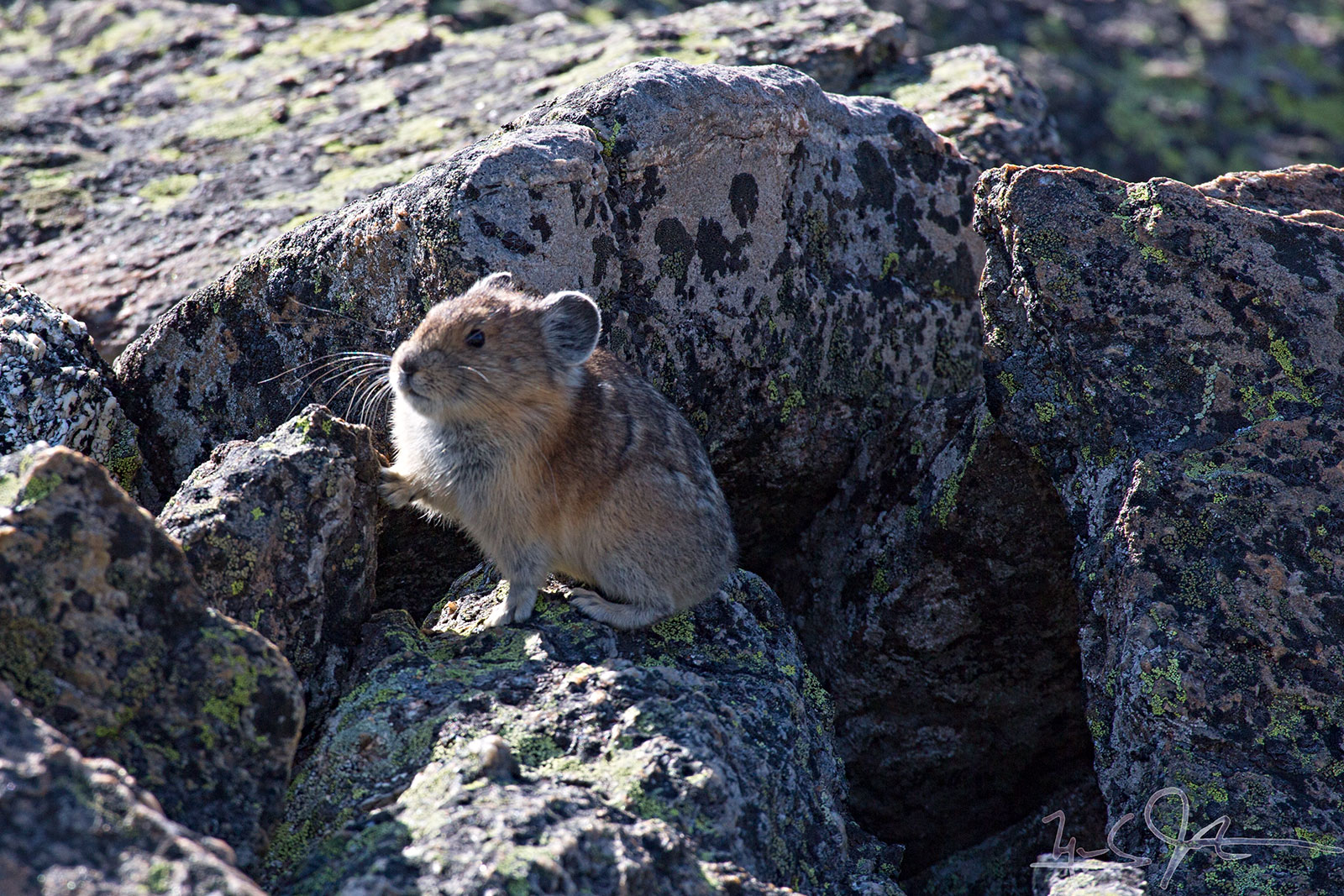 A rock rabbit, or Pica.