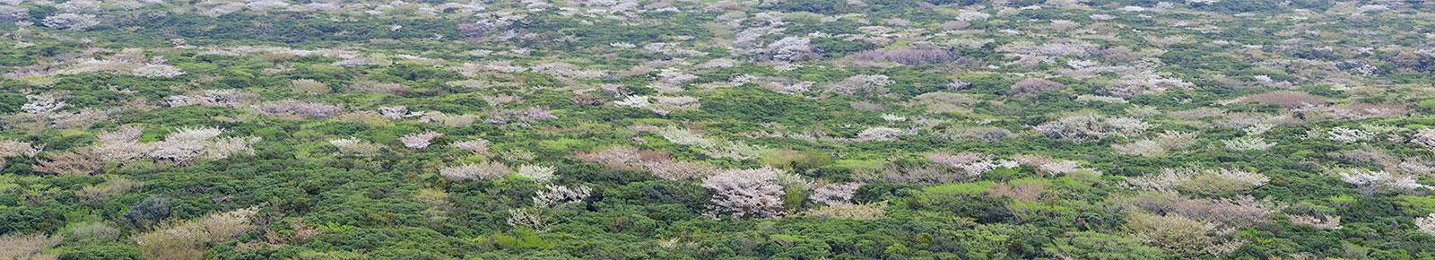 Blossoming trees on Izu Oshima, an island a few kilometers off the east coast of Japan's Izu Peninsula.