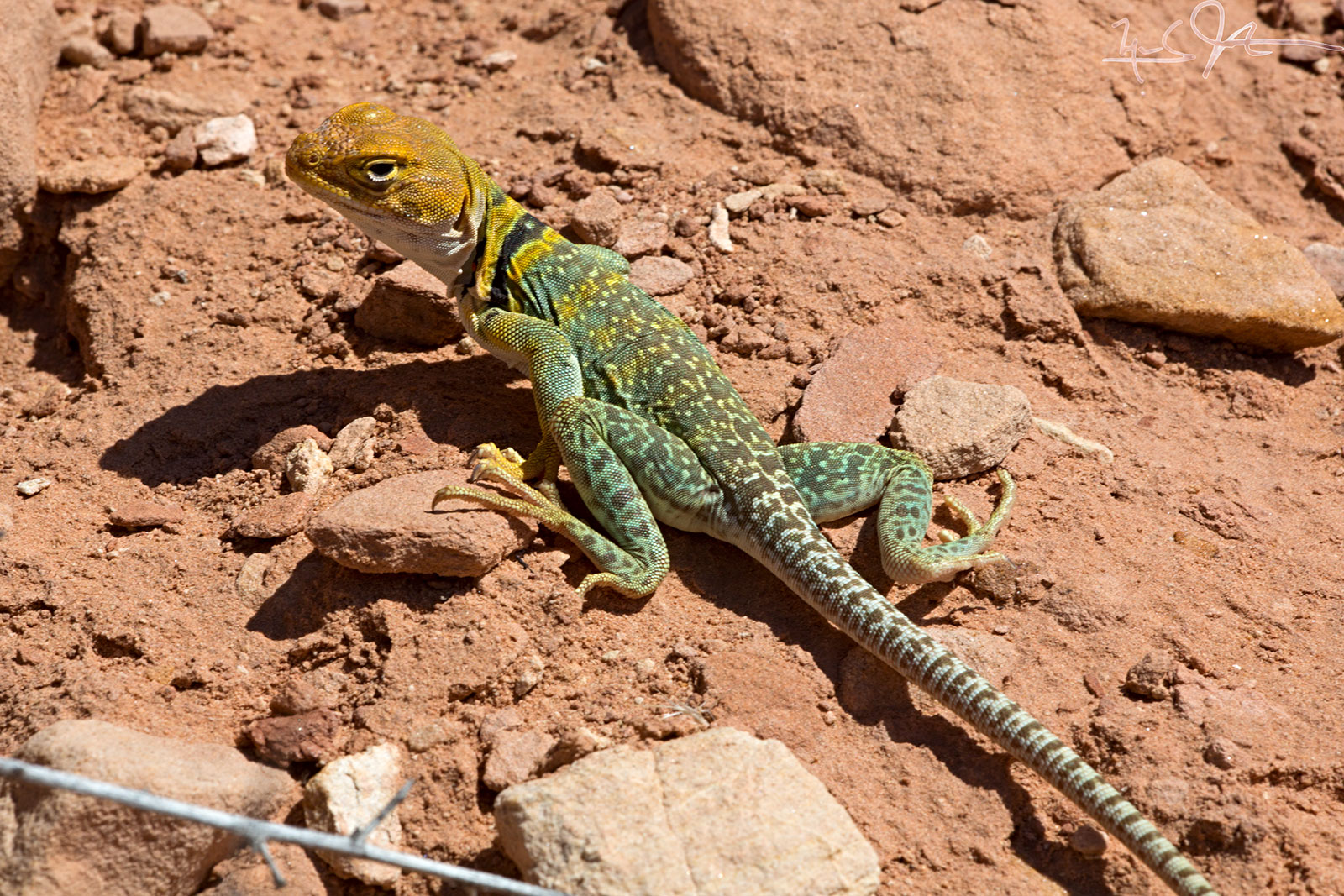 Collared Lizard,  Crotaphytus collaris .  Collared lizards feed mostly on insects, and can run on their hind legs.